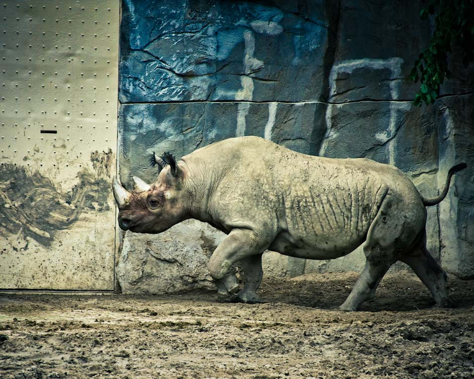 This photo is from a visit to the Brookfield Zoo [1] in Chicago, IL back in May.  This Rhinoceros seemed happy trotting back and forth in part of his habitat at the Zoo.  [1] http://www.czs.org/czs/Brookfield/Zoo-Home